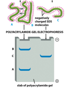 sds page electrophoresis of proteins essay
